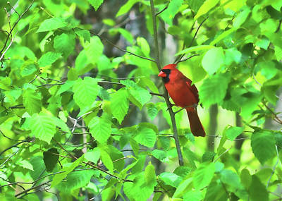 Photograph - Cardinal by JAMART Photography