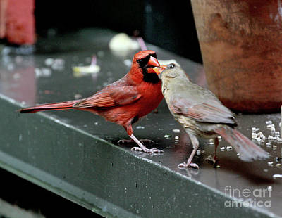 Photograph - Cardinal Love 2 by Patricia Youngquist