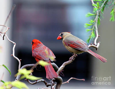 Photograph - Cardinal Love 3 by Patricia Youngquist