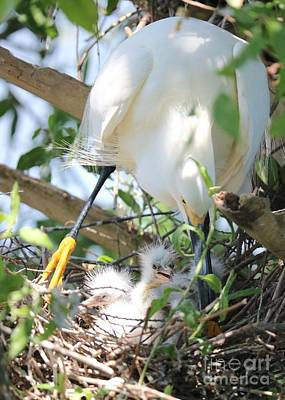 Photograph - Careful Egret Mom With Chicks by Carol Groenen