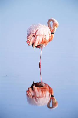 Photograph - Caribbean Flamingo, Galapagos Islands by Joseph Van Os