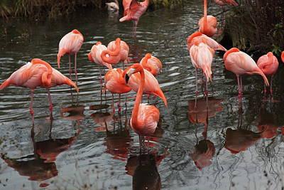 Standing Photograph - Caribbean Flamingo by Sebastian Santa