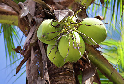 Photograph - Caribbean Nuts by Tatiana Travelways