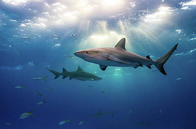 Photograph - Caribbean Reef Sharks And Sun Rays by Todd Bretl Photography