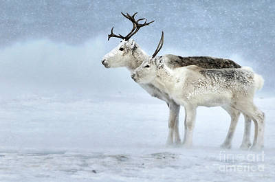 Photograph - Caribou During Blizzard by Philip Friskorn