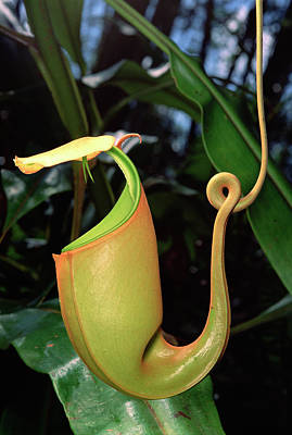 Ant Photograph - Carnivorous Pitcher Plant Nepenthes by Mark Moffett/ Minden Pictures