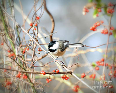 Photograph - Carolina Chickadee - Bird In The Berries by Kerri Farley