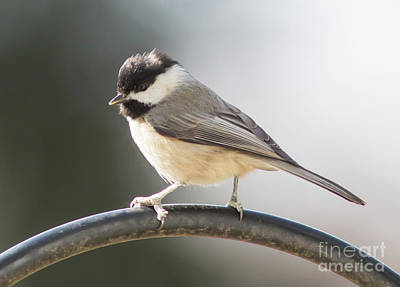 Photograph - Carolina Chickadee by Kevin McCarthy