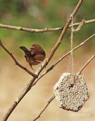 Photograph - Carolina Wren 49 by Lizi Beard-Ward