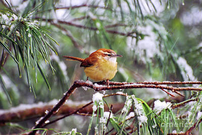 Photograph - Carolina Wren On Ice by Kerri Farley
