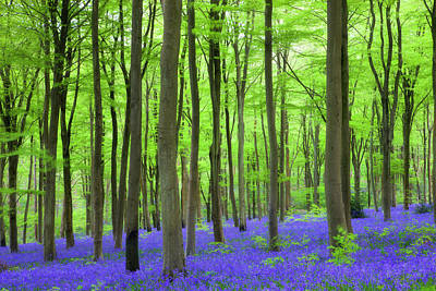 Photograph - Carpet Of Bluebells Growing In The by Adam Burton / Robertharding