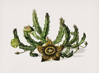 Rose - Carrion-flower  Stapelia variegata  illustrated by Charles Dessalines D Orbigny  1806-1876  by Celestial Images