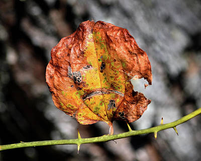 Photograph - Carved Pumpkin Leaf At Gordon's Pond by Bill Swartwout Photography
