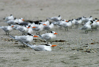 Photograph - Caspian Terns by Anthony Jones