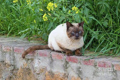 Photograph - Cat On A Wall by PJ Boylan