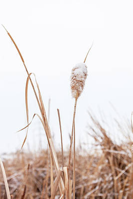 Photograph - Winter Cattail by Jeanette Fellows