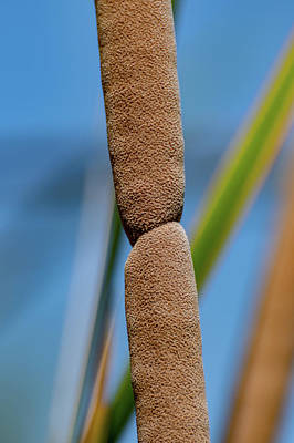 Photograph - Cattails Closeup by Douglas Killourie