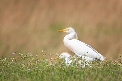 Photograph - Cattle Egret Feeding by Susan Rissi Tregoning