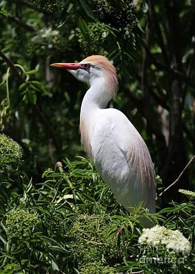 Photograph - Cattle Egret With Breeding Feathers by Carol Groenen