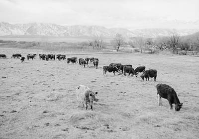 Painting - Cattle In South Farm  Manzanar Relocation Center  California by Celestial Images