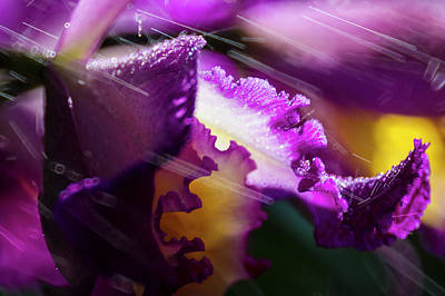Flower In Rain Wall Art - Photograph - Cattleaya Orchid Detail In Mist And by Alvis Upitis