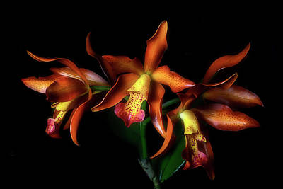Photograph - Cattleya by Cyndy Doty