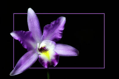 Photograph - Cattleya In A Box by Cyndy Doty