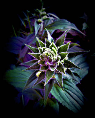 Jodi Diliberto Royalty-Free and Rights-Managed Images - Caught in the Spotlight Before It Could Flower by Jodi DiLiberto