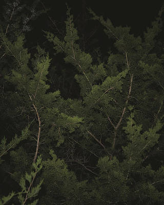 Photograph - Cedar Branches In The Dark by Philip A Swiderski Jr