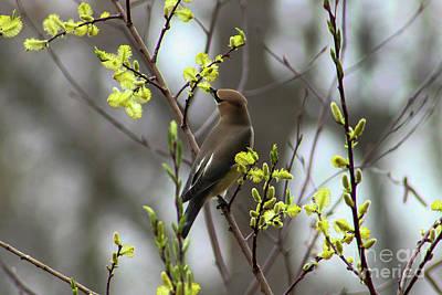 Photograph - Cedar Wax Wing by Sheila Skogen