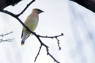Photograph - Cedar Waxwing 3139-012919 by Tam Ryan