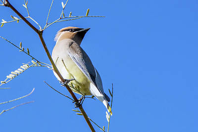 Photograph - Cedar Waxwing 5409-022619 by Tam Ryan