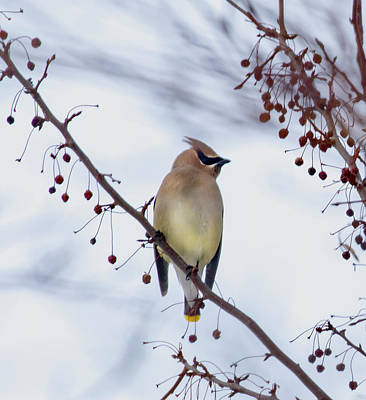 Photograph - Cedar Waxwing  by Betty Pauwels