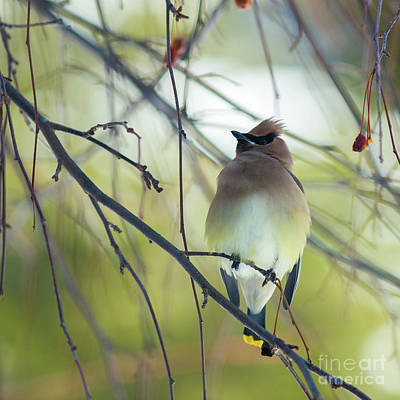 Photograph - Cedar Waxwing by Edward Fielding