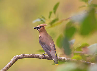 Photograph - Cedar Waxwing In Autumn by Loree Johnson