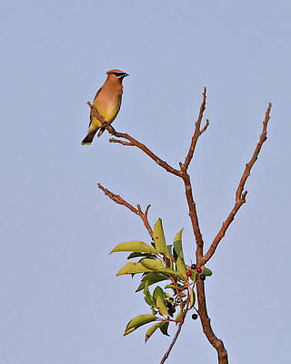 Photograph - Cedar Waxwing by Ken Stampfer