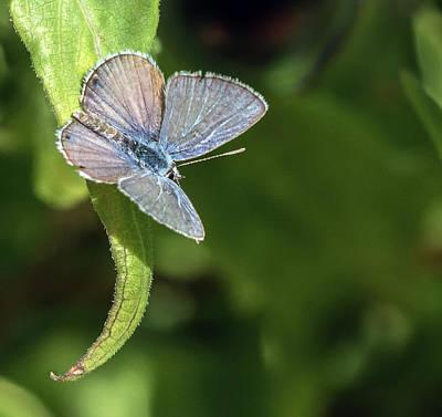 Photograph - Ceraunus Blue 4207-101418-1cr by Tam Ryan
