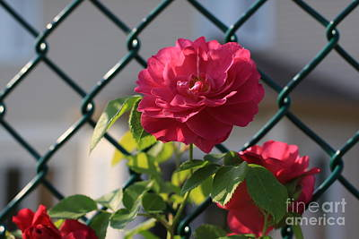 Photograph - Chain Link Fence With Roses by Tatiana Travelways
