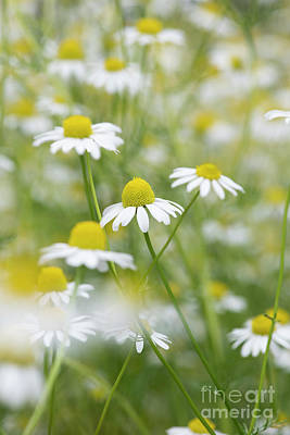 Photograph - Chamomile Flowers by Tim Gainey
