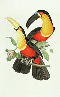 Channel Wall Art - Painting - Channel-billed Toucan by Jean-Theodore Descourtilz