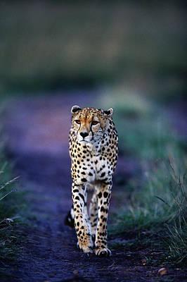 On The Move Photograph - Cheetah Acinonyx Jubatus by Anup Shah