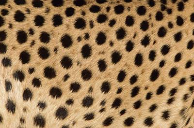 Photograph - Cheetah Acinonyx Jubatus, Close Up Of by Ingo Arndt/ Minden Pictures