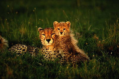 Animal Family Photograph - Cheetah Acinonyx Jubatus With Cubs In by Art Wolfe