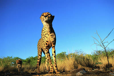 Animal Family Photograph - Cheetah And Cub Standing On Grassland by David Tipling
