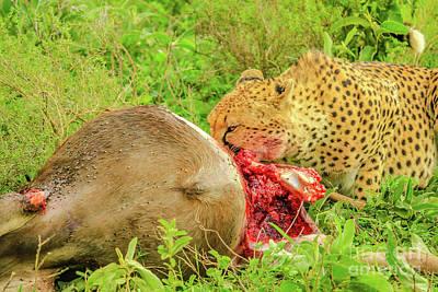 Photograph - Cheetah Eating Serengeti by Benny Marty
