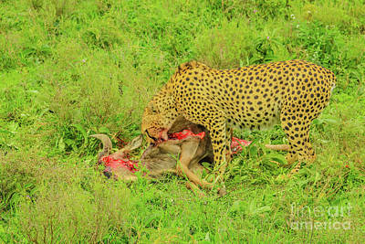 Photograph - Cheetah Eats Gnu by Benny Marty