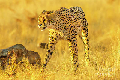 Photograph - Cheetah Game Drive by Benny Marty