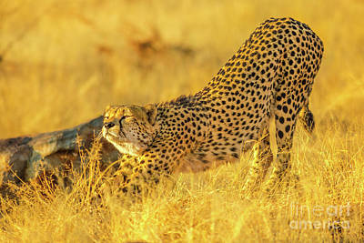 Photograph - Cheetah In Africa Reserve by Benny Marty