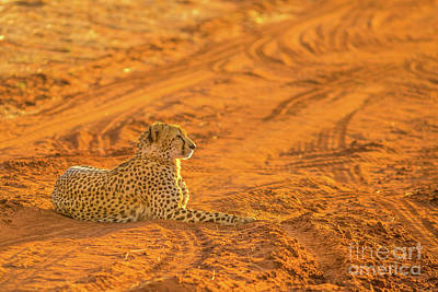 Photograph - Cheetah In Red Desert by Benny Marty