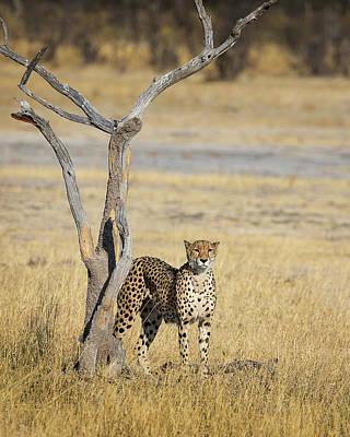 Photograph - Cheetah by John Rodrigues